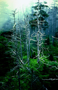 Trees killed by acid rain in the Great Smoky Mountains. (JLM Visuals.)