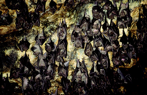 Hundreds of fruit bats hanging from the walls of a cave in Bali, Indonesia. ( Robert GillPapilioCorbis)