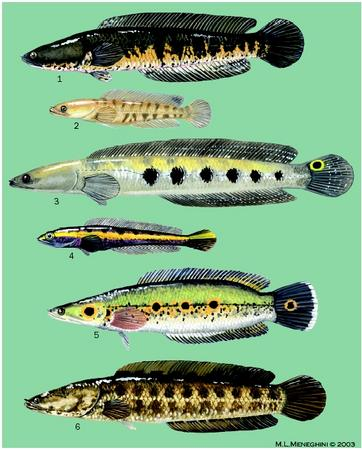 1. Striped snakehead (Channa striata); 2. Striped snakehead (Channa striata) juvenile; 3. Bullseye snakehead (Channa marulius); 4. Bullseye snakehead (Channa marulius) juvenile; 5. Ocellated snakehead (Channa pleurophthalmus); 6. Northern snakehead (Channa argus). (Illustration by Michelle Meneghini)
