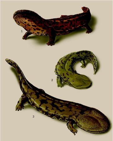 1. Japanese giant salamander (Andrias japonicus); 2. Hellbender (Cryptobranchus alleganiensis); 3. Chinese giant salamander (Andrias davidianus). (Illustration by Brian Cressman)