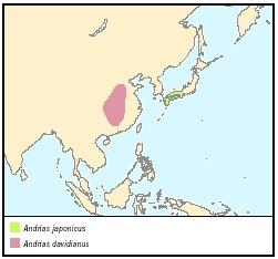 Asiatic giant salamanders and hellbenders