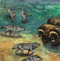 Gray wolves (Canis lupus), the largest canids, circling musk oxen. (Illustration by Wendy Baker)