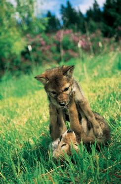 Coyote (Canis latrans) pups play and practice fighting. (Photo by Erwin and Peggy Bauer. Bruce Coleman, Inc. Reproduced by permission.)