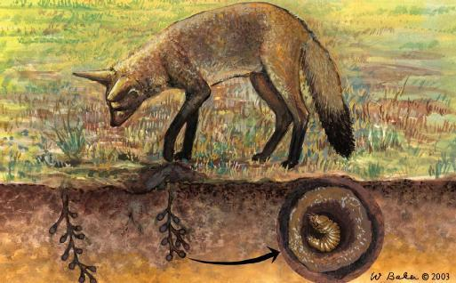 A bat-eared fox (Otocyon megalotis) listens to the larva in a dung beetle ball underground. (Illustration by Wendy Baker)
