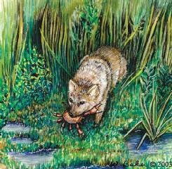 A crab-eating fox (Cerdocyon thous) eating a crab, as its common name suggests. (Illustration by Wendy Baker)