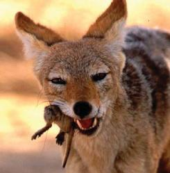 A golden, or common, jackal (Canis aureus) with a mouse. (Photo by Rudi van Aarde. Reproduced by permission.)