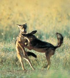"Silverback jackals (Canis mesomelas) ""body slam"" play in Kenya. (Photo by K & K Ammann. Bruce Coleman, Inc. Reproduced by permission.)"