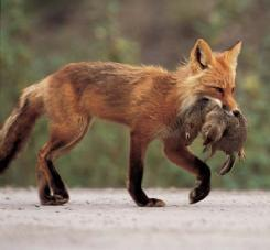 A red fox (Vulpes vulpes) carries two Arctic ground squirrels (Spermophilus parryii) to its den in Denali National Park, Alaska, USA. (Photo by Erwin and Peggy Bauer. Bruce Coleman, Inc. Reproduced by permission.)