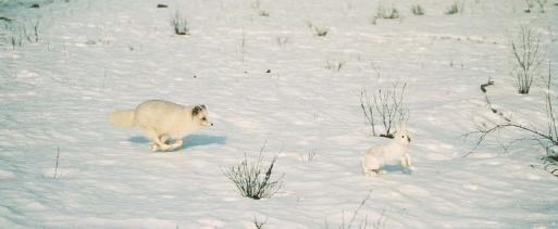 An Arctic fox (Alopex lagopus) chases a hare on the snow. (Photo by Tom Brakefield. Bruce Coleman, Inc. Reproduced by permission.)