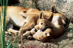 A dingo (Canis familiaris dingo) adult with pups in Queensland, Australia. (Photo by FRITHFOTO, Bruce Coleman, Inc. Reproduced by permission.)
