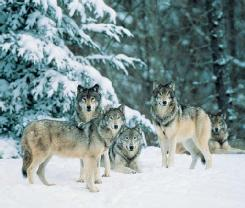 A gray wolf (Canis lupus) pack at the edge of a snowy woods in California, USA. Gray wolves are not found in the wild in California, but may be found in fenced-in parks or other areas. (Photo by Tom Brake-field. Bruce Coleman, Inc. Reproduced by permission.)