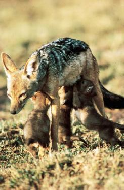 A silverback jackal (Canis mesomelas) mother nursing her cubs. (Photo by K & K Ammann. Bruce Coleman, Inc. Reproduced by permission.)