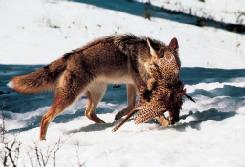 A coyote (Canis latrans) with a ring-necked pheasant. (Photo by Erwin and Peggy Bauer. Bruce Coleman, Inc. Reproduced by permission.)