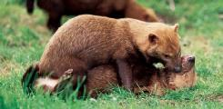 Bush dogs (Speothos venaticus) play fighting in Brazil. (Photo by Rod Williams. Bruce Coleman, Inc. Reproduced by permission.)