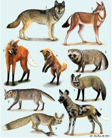 1. Gray wolf (Canis lupus); 2. Ethiopian wolf (Canis simensis); 3. Maned wolf (Chrysocyon brachyurus); 4. Red fox (Vulpes vulpes) pup; 5. Raccoon dog (Nyctereutes procyonoides); 6. Crab-eating fox (Cerdocyon thous); 7. Bat-eared fox (Otocyon megalotis); 8. Blanford's fox (Vulpes cana); 9. African wild dog (Lycaon pictus). (Illustration by Wendy Baker)