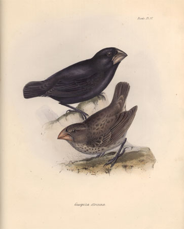Galpagos finches from the Zoology of the Beagle, Birds Private collection of Angus Carroll.