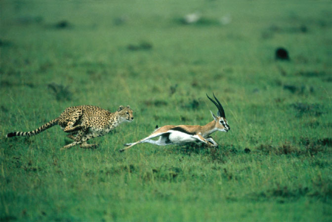As cheetahs (Acinonyx jubatus) evolve to become faster, it forces their prey to become more efficient runners and vice versa.