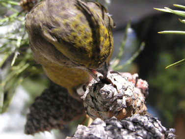 A South Hills crossbill (Loxia sinesciuris) is foraging on a lodgepole pine cone. The crossbill laterally abducts its lower mandible to spread apart the cone scales and access the seeds. Thickening of the cone scales would impede crossbills and
