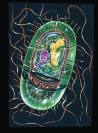 The structure of a Salmonella bacterium. The DNA (inside the nucleus) is yellow. The cytoplasm is green. The part of the cell wall shown in brown secretes the toxins that cause symptoms in salmonellosis.