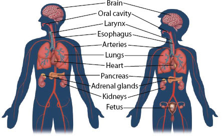 Parts of the body affected by tobacco in men and women.