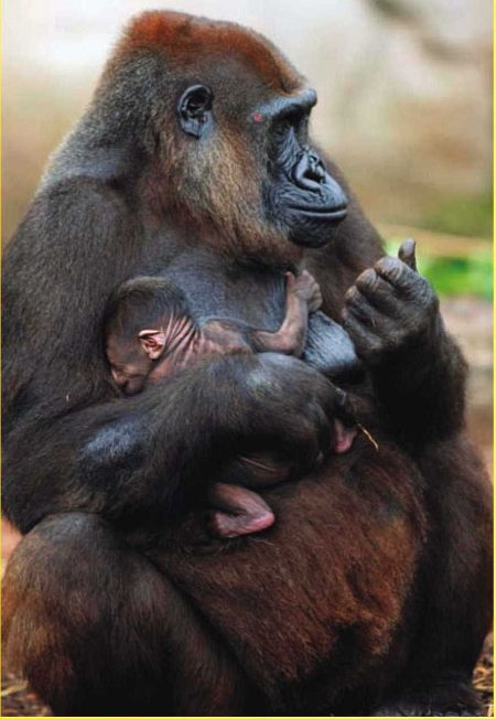The great apes share genetic traits, as well as many personality traits, with humans, which inspires many people to have strong feelings of kinship with apes.
