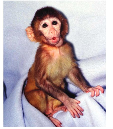ANDi, the first genetically modified rhesus monkey, is shown in 2001. Scientific studies have found that many animals use complex languages for communicating with others of their kind, indicating intelligence.