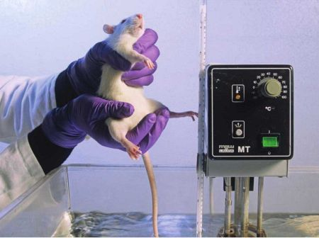 A scientist tests the pain tolerance of a rat by placing its tail in water heated to 39 degrees Celsius (102.2 degrees Fahrenheit). Many animal rights proponents believe that causing animals to suffer is morally wrong.