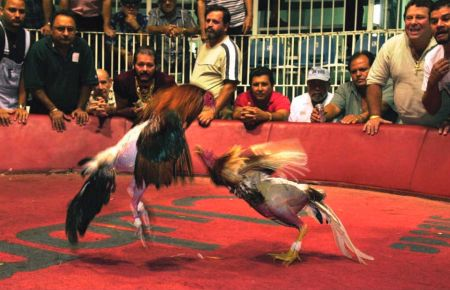 Cockfighting roosters are specially bred to be strong and aggressive.