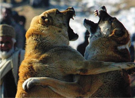 In Afghanistan, dogfighting is a popular pastime, and matches are a weekly event.