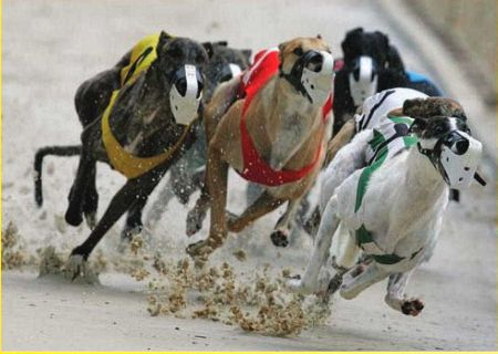 Many greyhound puppies that are born, but are not of racing quality, are killed in a process known as culling.