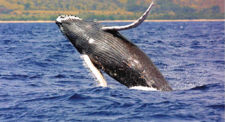 Even though the International Whaling Commission enacted an indefinite ban on commercial whaling in 1986, Japan, Norway, and Iceland objected and continued their commercial whaling activities.
