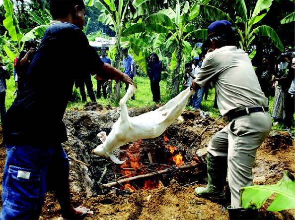 An Indonesian official (right) from the animal husbandry department gets help from a resident with burning goats suspected of being infected by anthrax disease in October 2004. The infected animals were destroyed after six people died of anthra