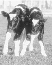 When Huxley wrote Brave New World, foreshadowing a future characterized by sterility and an absence of individuality, he could not possibly have known about these newborn transgenic cows, created in 1998 through cloning and genetic engineering.