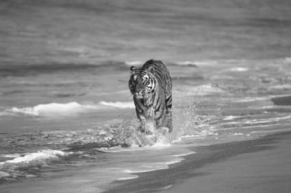 Bengal tiger walking in surf