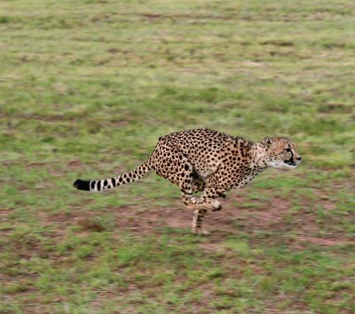Cheetahs run.