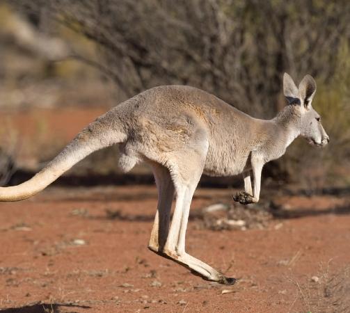 Kangaroos hop.