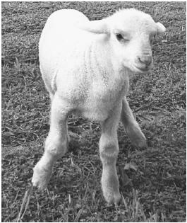 Matilda, a sheep cloned in Australia. (© AFP/Corbis. Reproduced by permission.)