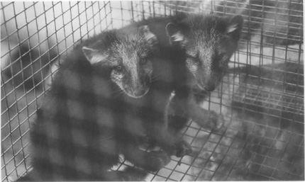 Fox cubs in a cage on a fox farm, similar to the setting in Boys and Girls.