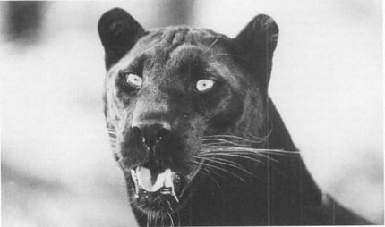 A black panther, much like the bobcat Spunk Banks believes is the spirit of Joe Kanty returned from the grave to seek revenge.