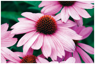 Purple cone-flower (Echinacea purpurea) was used by Native Americans to treat fevers, wounds, toothaches, sore throats, mumps, smallpox, snakebites, and other maladies.