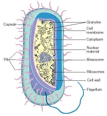 The anatomy of a typical bacterium. (Reproduced by permission of The Gale Group.)