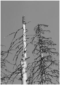 Acid rain damage in a German forest.  Boussu Regis/Corbis Sygma. Reproduced by permission.