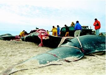 Marine scientists specializing in biological and chemical subfields may investigate impacts of environmental change, including pollution, on ocean life. Here, scientists are dissecting a 40-ton, 18-meter-long (60-foot) blue whale to determine why it died off Rhode Island's Narragansett Bay.