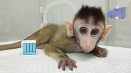 A Gene-Edited Cloned Monkey, One of Five in Groundbreaking Chinese Research Project