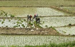 Chinese Women Work In Rice Paddies North Of Beijing