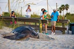 An 800-pound Leatherback Sea Turtle Nests on a Florida Beach